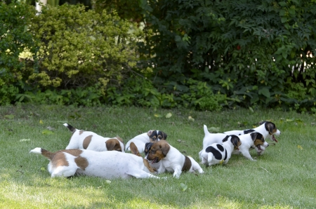 Mom and puppies breed Jack Russell Terrier playing happily in the meadow