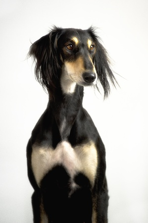 Close-up of a funny and cute Persian greyhound race Saluki posing Stock Photo