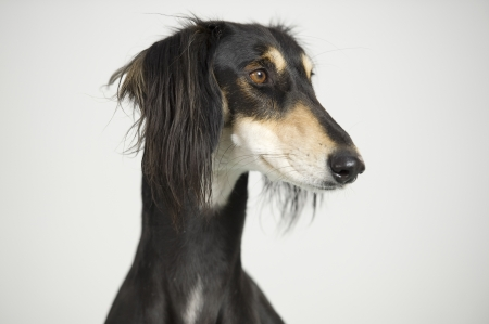 Foreground - Head of a Persian greyhound race Saluki posing