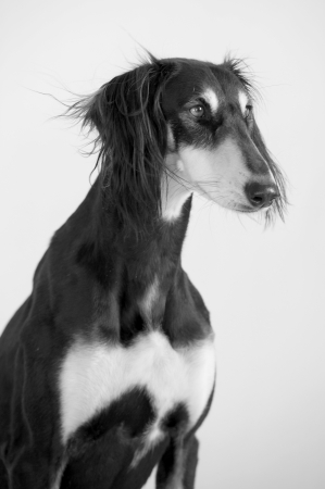 Close-up black and white of a funny and cute Persian greyhound race Saluki posing
