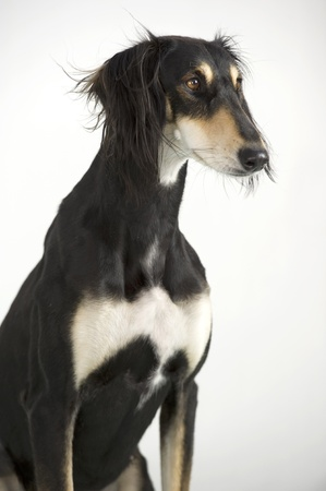 Close-up of a funny and cute Persian greyhound race Saluki posing photo