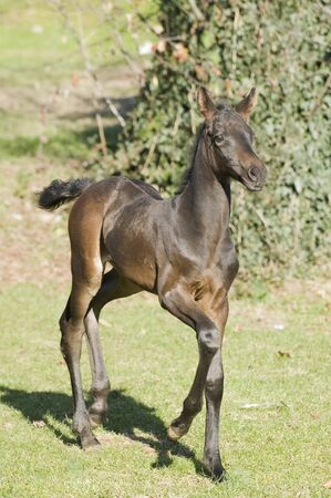 Horse - Close up of a beautiful foal who walks majestically in the paddock