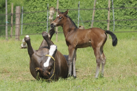 Horse - Broodmare lying in the grass rolls with her foal in the newborn Stock Photo