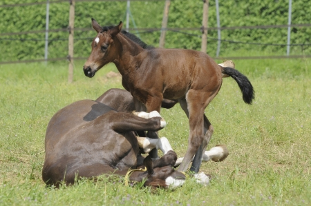 Horse - Broodmare lying in the grass rolls with her foal in the newborn Stock Photo - 15477735