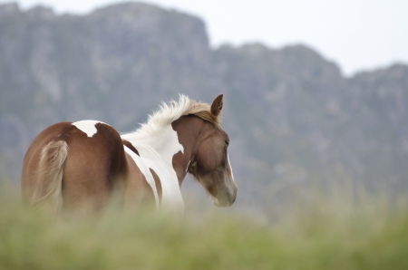 Spotted horse in the mountains graze freely in the mountains, hiding in the grass in the breeze of the wind