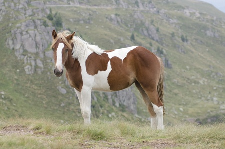dappled: Spotted horse grazing in the mountains, admiring the view in the breeze of the wind Stock Photo