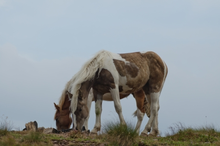 Two spotted horses graze free in the mountains grazing the grass