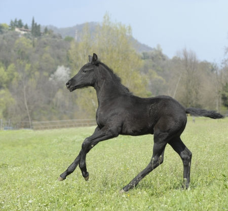 Horse - Foal galloping fast in the paddock to get the herd Stock Photo
