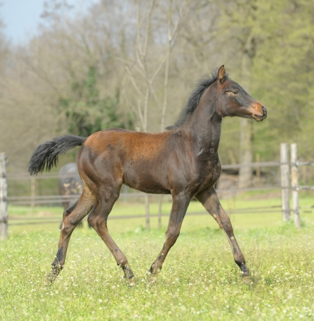 Horse - Close up of a beautiful foal who walks majestically in the paddock Stock Photo - 16583225