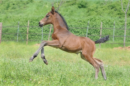 Horse - Young foal gallops and bucks merrily in the paddock