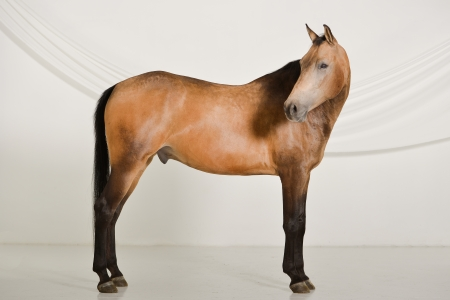 Beautiful horse laying into the spotlight of a photographic studioSplendido cavallo posa sotto i riflettori di uno studio fotografico