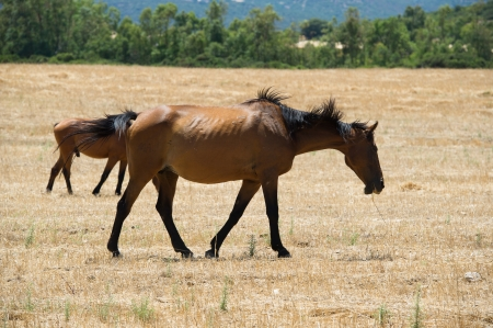 Horses grazing in the grass dried in a hot summer day Stock Photo - 16725495