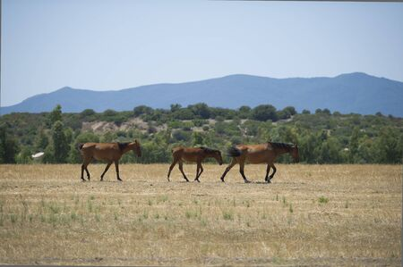 Horses grazing in the grass dried in a hot summer day Stock Photo - 17125245