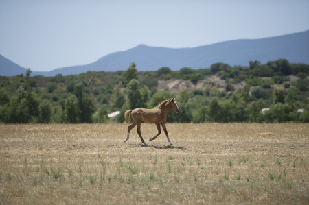 Horse - Foal grazing in the grass dried in a hot summer day Stock Photo - 17125244