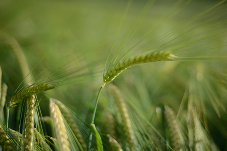 Ear of barley green ripening stage. Stock Photo