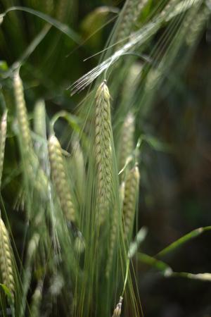 Spighe di orzo / grano