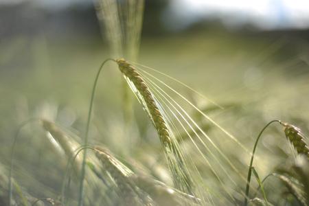 rurale: Spighe di orzo  grano