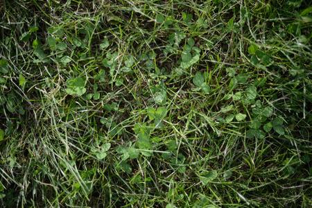 Prato verde con il trifoglio