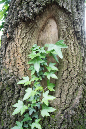 Ivy on a tree Stock Photo