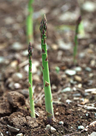 Organic farming asparagus in black soil, Bundle of green asparagus in hands of the farmer in front of asparagus field in spring Imagens