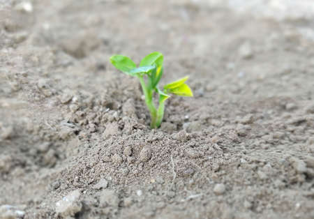 Growing Young Peanuts Plant in farm, Young plant growing from seed