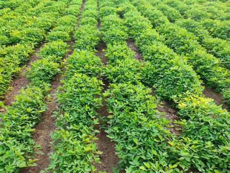 Peanuts farm, Peanut Field, Peanut Tree, Peanuts plantation fields, Farm land in India background