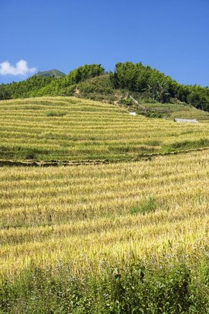 This photo is from Sapa, Vietnam.  The terraces are used to grow rice.  The golden colour shows that its harvest time.  Rice terraces are used to conserve soil photo
