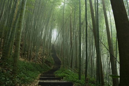 A path through a misty bamboo forest.  Bamboo are the fastest growing plants in the world. Stock Photo
