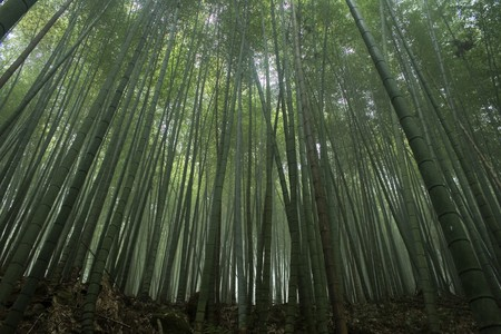 Bamboo forest in Asia.  Bamboo is the fastest growing plant in the world and has many uses, especially in Asia. Stock Photo - 4080414