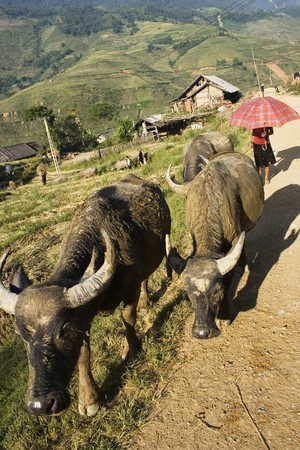 Driving the cows home.  Water buffalos being taken home in the evening.  This is Sapa Valley, a prime hiking venue in Vietnam.  There are many ethnic minorities in this area.