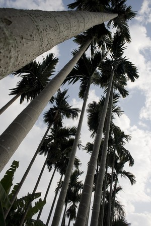 A low angle shot of palm trees, showing the height of these attractive trees.  There are also some banana trees at the bottom.   photo