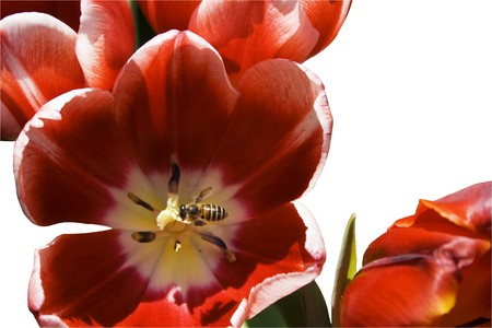 pollinate: A bee hovers over a tulip.  The background has been removed.  As well as the direct result of bees helping to pollinate flowers, the picture could refer to the story of fertility - the birds and the bees