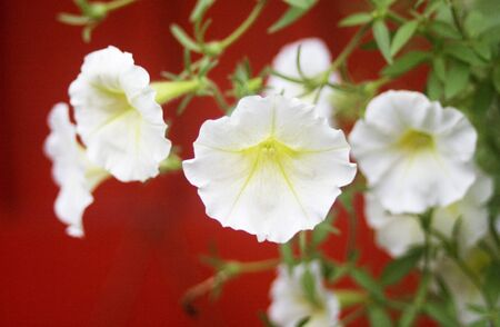 dainty: White flowers against a red background