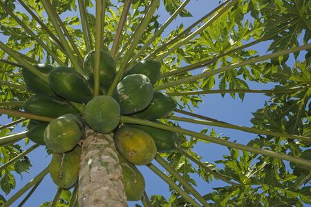 A Papaya tree loaded with fruit.  This tree grows in tropical climates.  Papaya provides delicious tasting fruit that are used for desserts and shakes. The seeds also have a spermicide effect and have been used by people in Asia as a former of contracepti