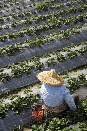 A farm worker is picking strawberries on a strawberry farm.  The worker is wearing a straw hat for protection against the sun. Farm worker is unidentifiable. photo
