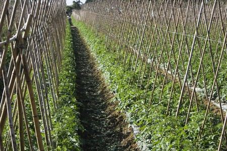 Rows of bamboo canes support young tomato plants.  This is rich agricultural land and is used for intensive farming. Farm workers are unidentifiable. photo