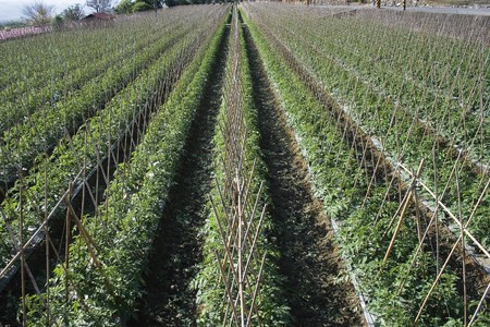 Rows of bamboo canes support young tomato plants.  This is rich agricultural land and is used for intensive farming. Stock Photo