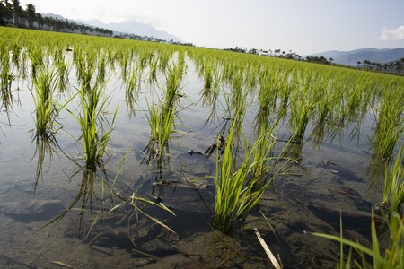 Young rice in a paddy field.  Rice is the food staple for millions of people, especially in Asia, Latin America and some parts of Africa.  Paddy fields have water, which is a form of pest and weed control.  Stock Photo