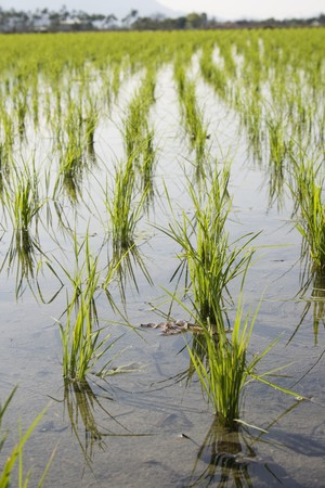 food staple: Young rice in a paddy field.  Rice is the food staple for millions of people, especially in Asia, Latin America and some parts of Africa.  Paddy fields have water, which is a form of pest and weed control.  Stock Photo
