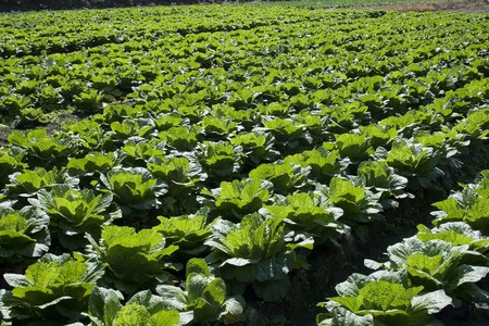 Cabbage growing in a flat bottom valley.  Cabbage is a healthy vegetable that can be used in many dishes. Its rich in vitamins and fiber.  This is rich farmland area.