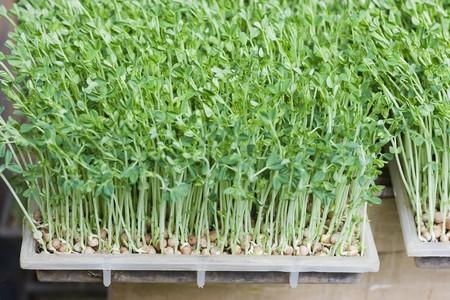 トレイに成長している豆もやしのクローズ アップ。 彼らは調理のため使用され、時々 生で食べられます。これらのものは、台湾で育っていた。