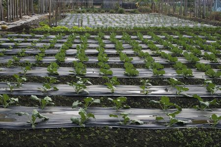 Vegetables growing in a field, with raised rows for drainage. photo