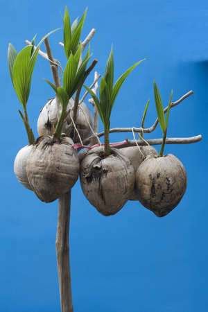 coconut seedlings: Coconut seedlings hung up on a wooden stick.  Theyre on a simple blue background