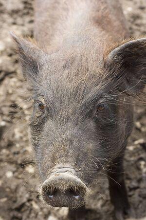 興味津 々 の豚は、何が起こっているを見て近づいて。