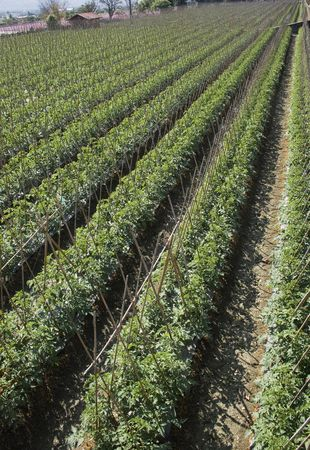 Rows of bamboo canes support young tomato plants.  This is rich agricultural land and is used for intensive farming. photo