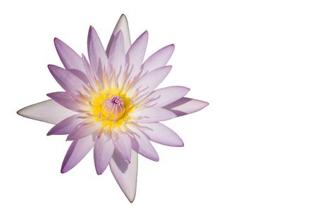 A newly opened lotuswater lily flower.  The flower has been isolated and a white background added.  Its a purple, pink and yellow flower. Stock Photo