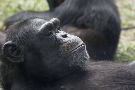 A Chimpanzee at rest.  This is an older one.  There are two species of chimpanzees and they come from West Africa and Central Africa.