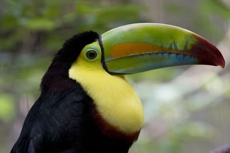 A Toucan, probably a Keel Bill Toucan, from Central America.  This is a very colorful bird and it lives in tropical rainforests.