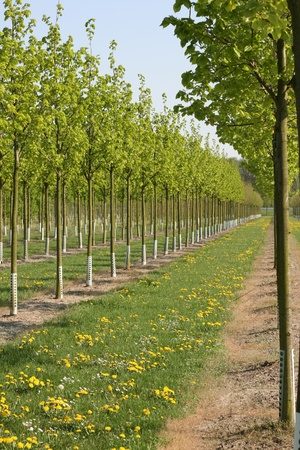 public works: Rows of trees at a tree nursery.  These trees might be used for public works or for private gardens. Stock Photo