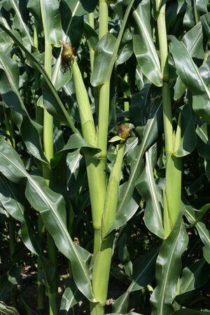 planta de maiz: Maíz brotes que crecen en la planta de maíz, Foto de archivo